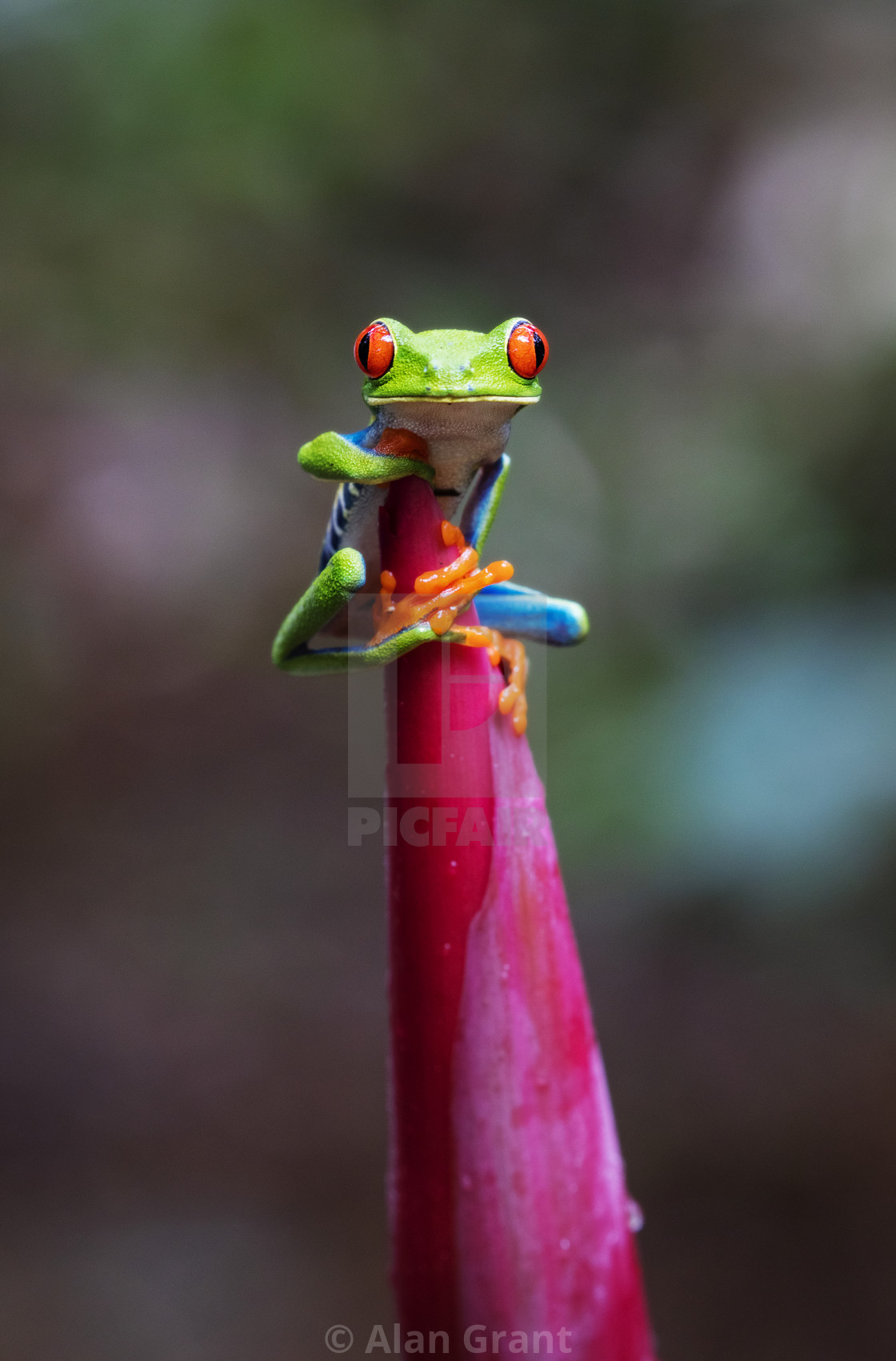 """Red-eyed Tree Frog"" stock image"