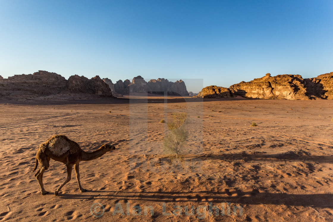 """Stray Young Camel"" stock image"