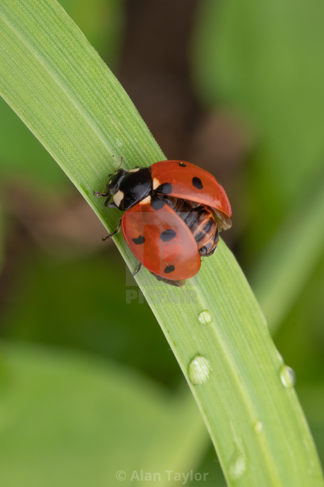 """Ladybird drying out on grass"" stock image"