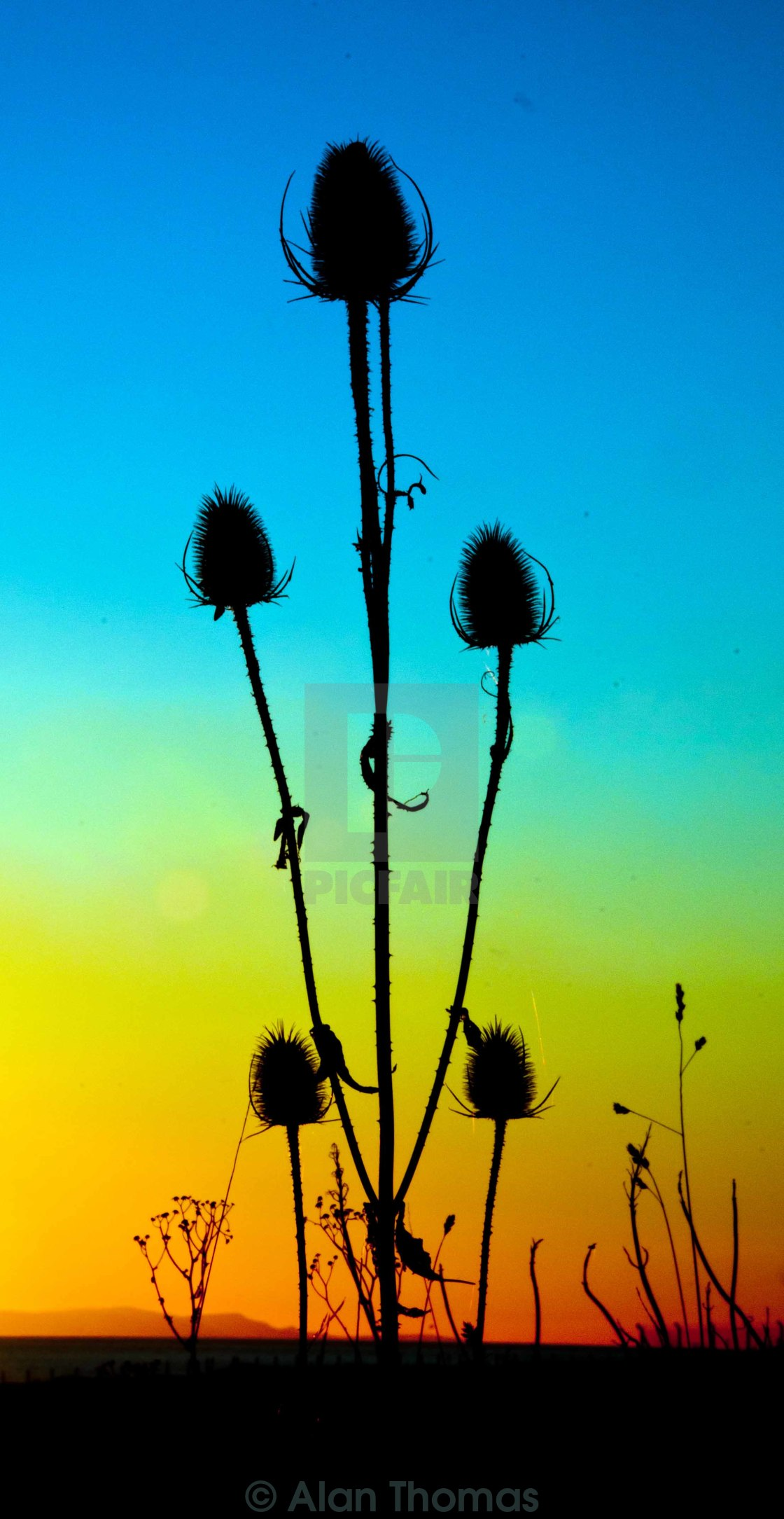 """""""Silhouette of thistles against a setting sun."""" stock image"""