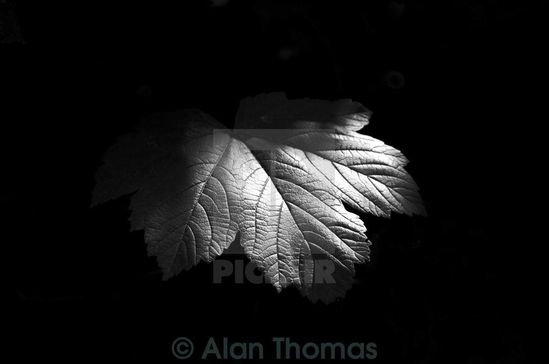 """Maple leaf against a dark backgound"" stock image"