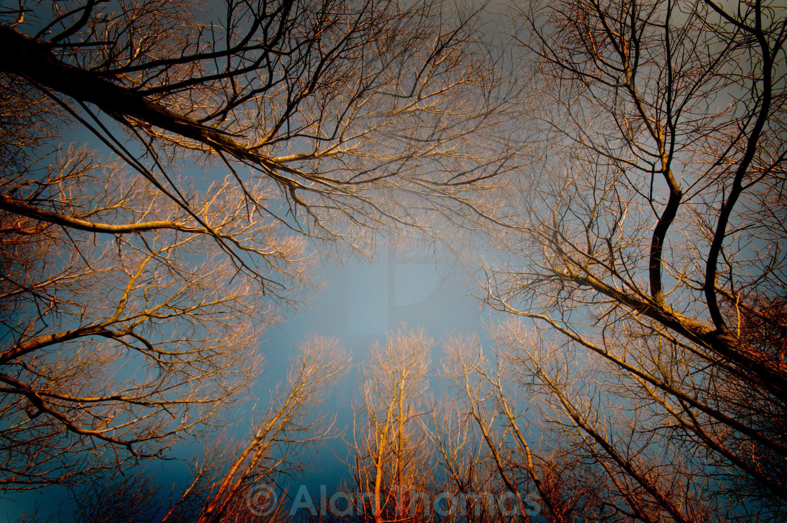 """""""An autumn evening looking up through some trees"""" stock image"""