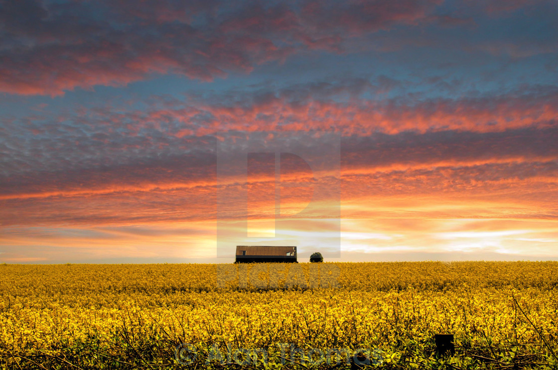 """""""Sun setting over a field of rapeseed"""" stock image"""