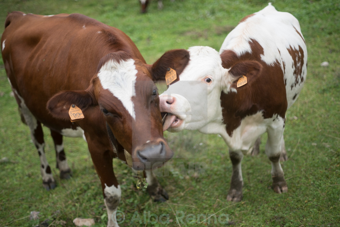 """Love Cow"" stock image"