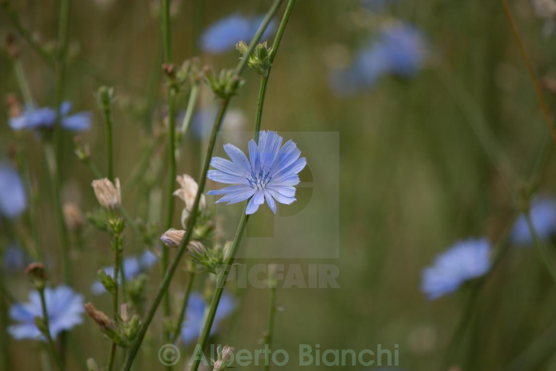 Fiori Bianchi Montagna.Fiore Di Montagna License Download Or Print For 3 72 Photos