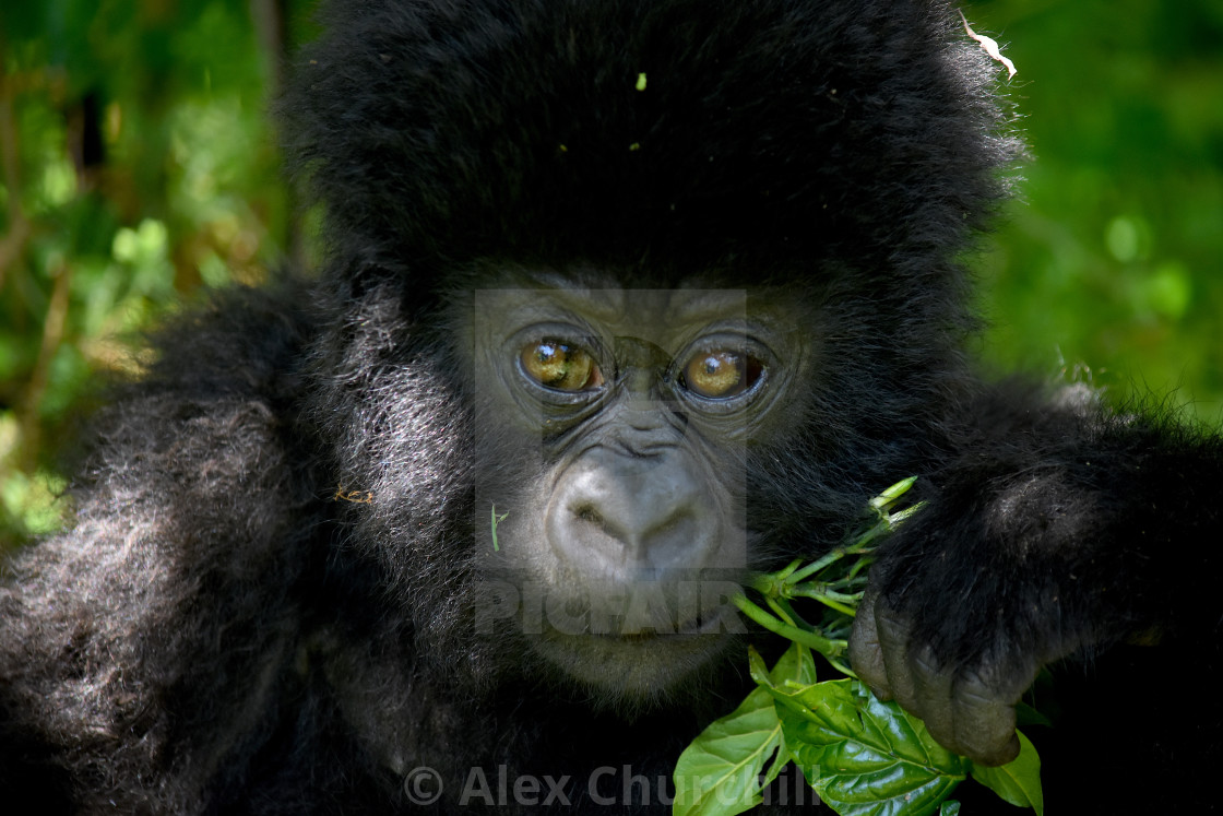 """Baby Mountain Gorilla"" stock image"