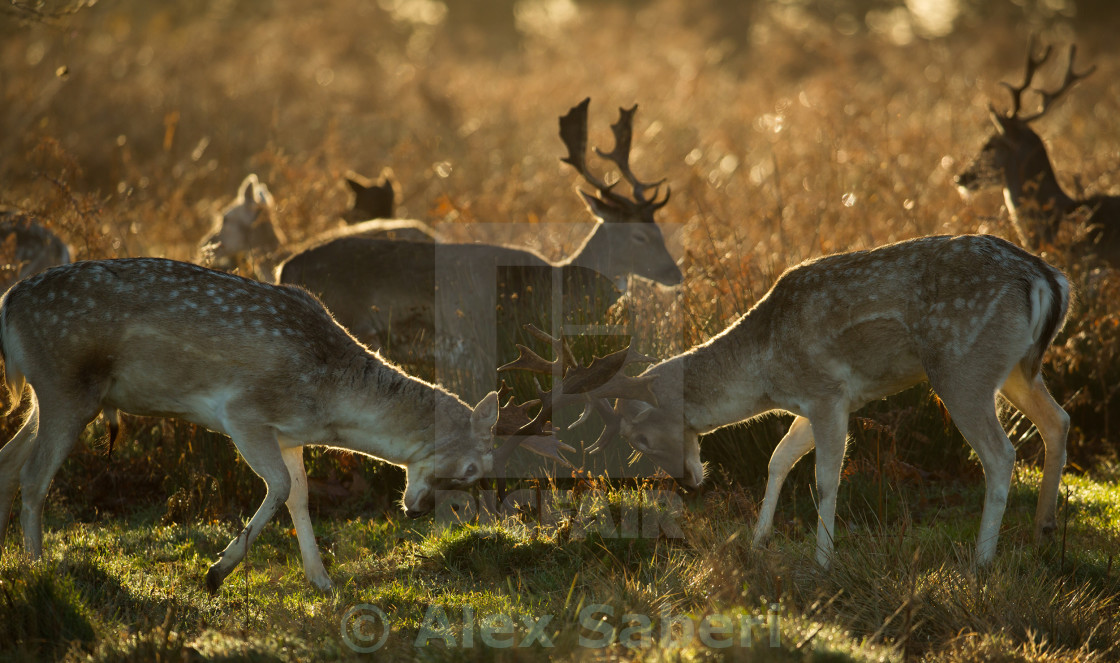 """""""Fallow deer, Dama dama, fighting during the winter months in the sunset of Richmond Park in London, England."""" stock image"""