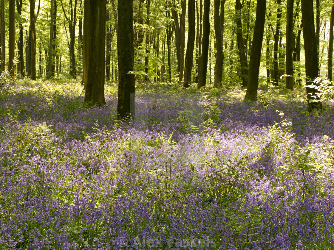 """""""The Bluebells of Micheldever Woods"""" stock image"""