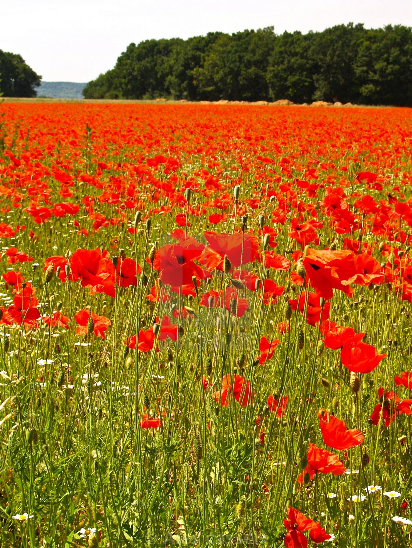 """Sea of Poppies"" stock image"