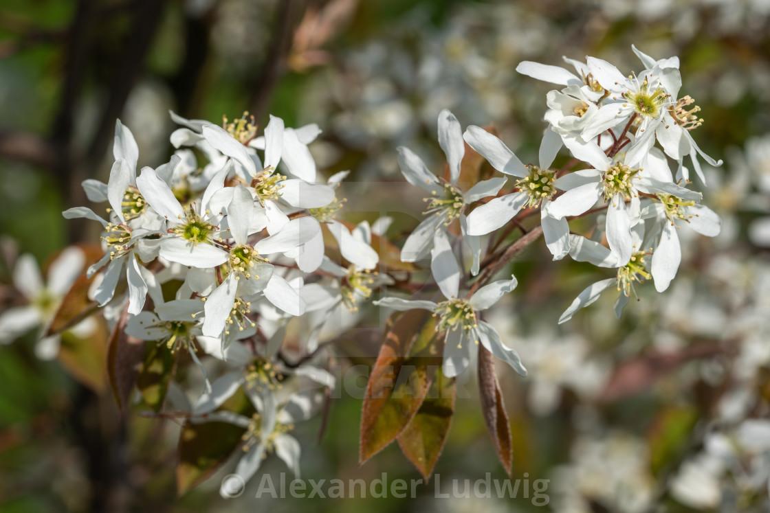 """Juneberry, Amelanchier lamarckii"" stock image"