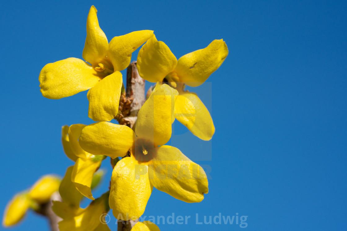 """""""Forsythia, Forsythia × intermedia"""" stock image"""