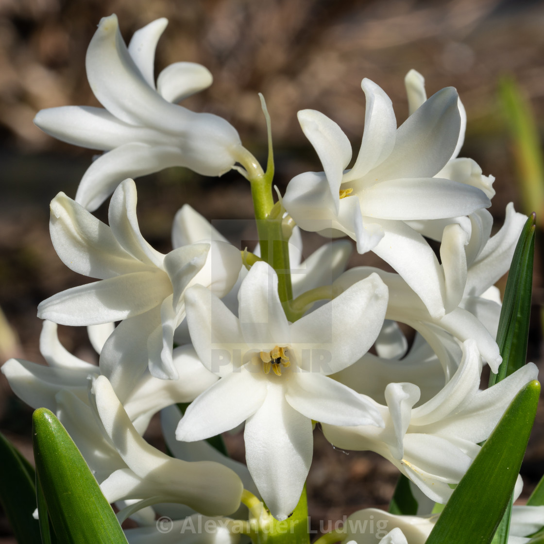 """Common Hyacinth, Hyacinthus orientalis"" stock image"
