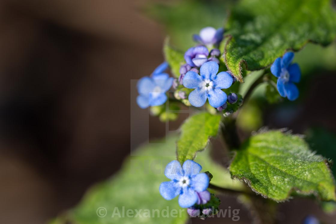 """Siberian bugloss, Brunnera macrophylla"" stock image"