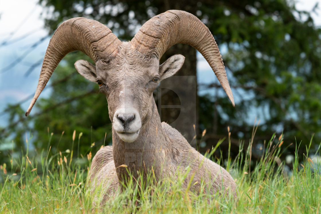 """""""Bighorn sheep, Ovis canadensis"""" stock image"""