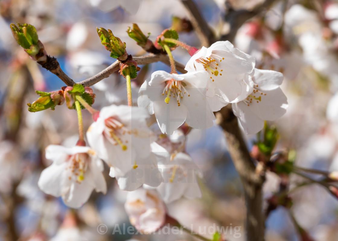 """Fuji cherry, Prunus incisa"" stock image"