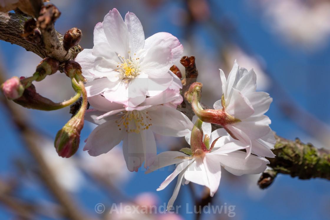 """""""Higan cherry, Prunus subhirtella"""" stock image"""
