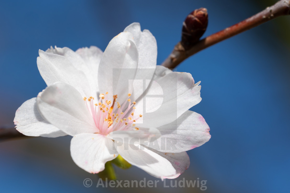 """Higan cherry, Prunus subhirtella"" stock image"