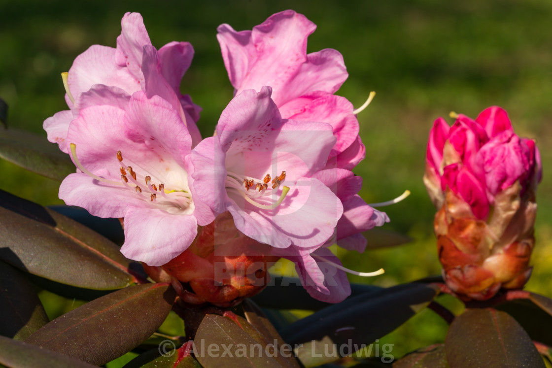"""""""Rhododendron Hybrid"""" stock image"""