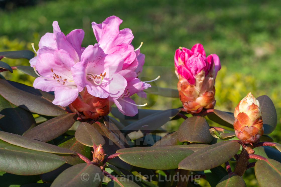 """Rhododendron Hybrid"" stock image"