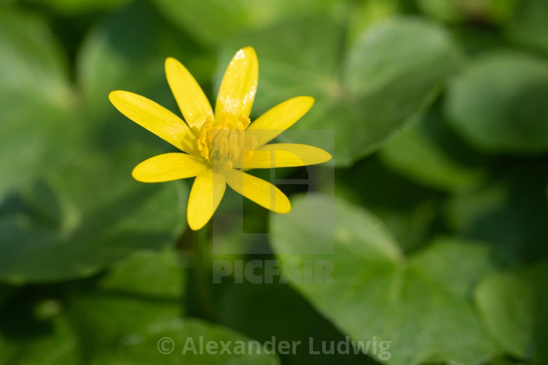 """Buttercup, Ficaria verna"" stock image"