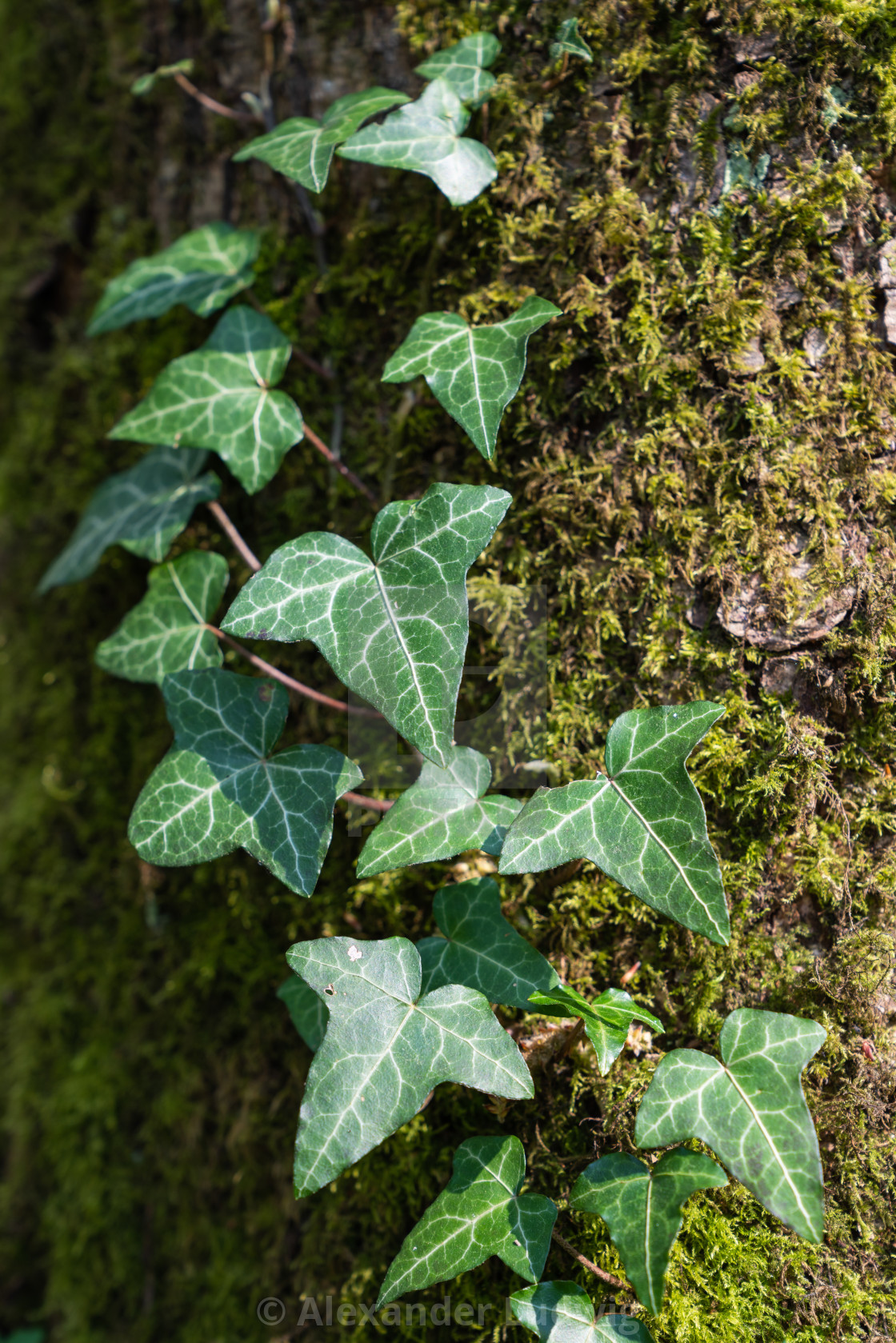"""""""Ivy and tree trunk"""" stock image"""