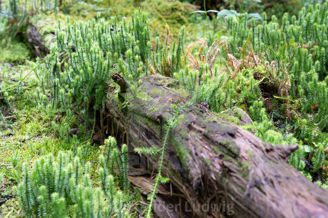 """""""Moss and tree trunk"""" stock image"""