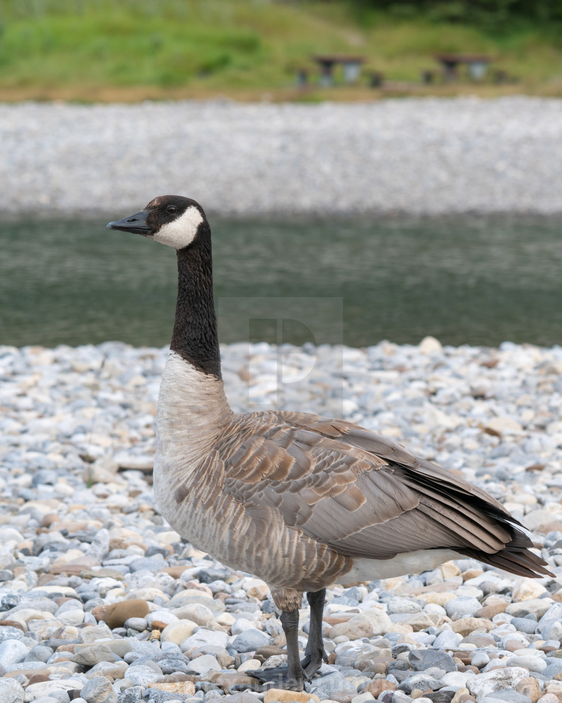 """""""Canada goose (Branta canadensis), image was taken in the Banff National Park,..."""" stock image"""