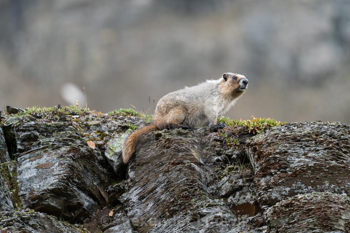 """Hoary marmot, Marmota caligata"" stock image"