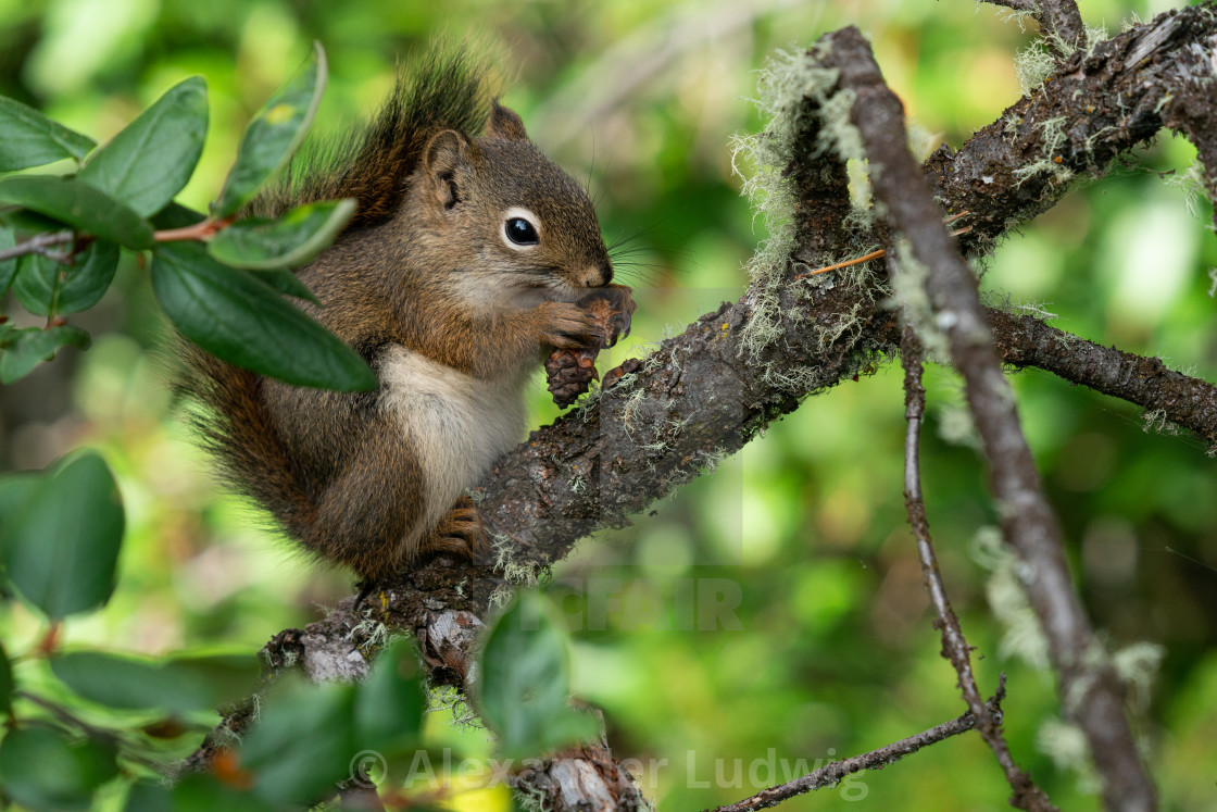 """Red Squirrel, Tamiasciurus hudsonicus"" stock image"