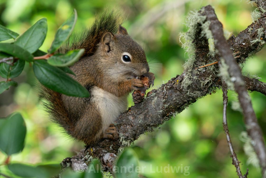 """""""Red Squirrel, Tamiasciurus hudsonicus"""" stock image"""