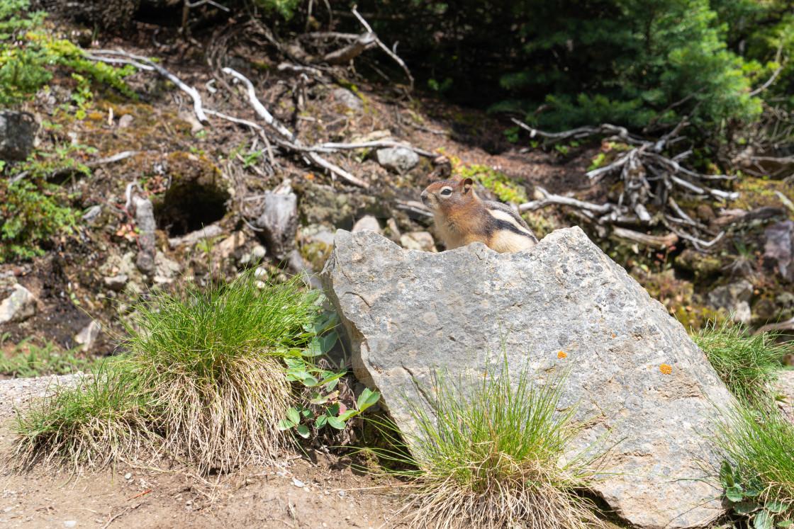 """Golden-mantled Ground Squirrel, Callospermophilus lateralis"" stock image"