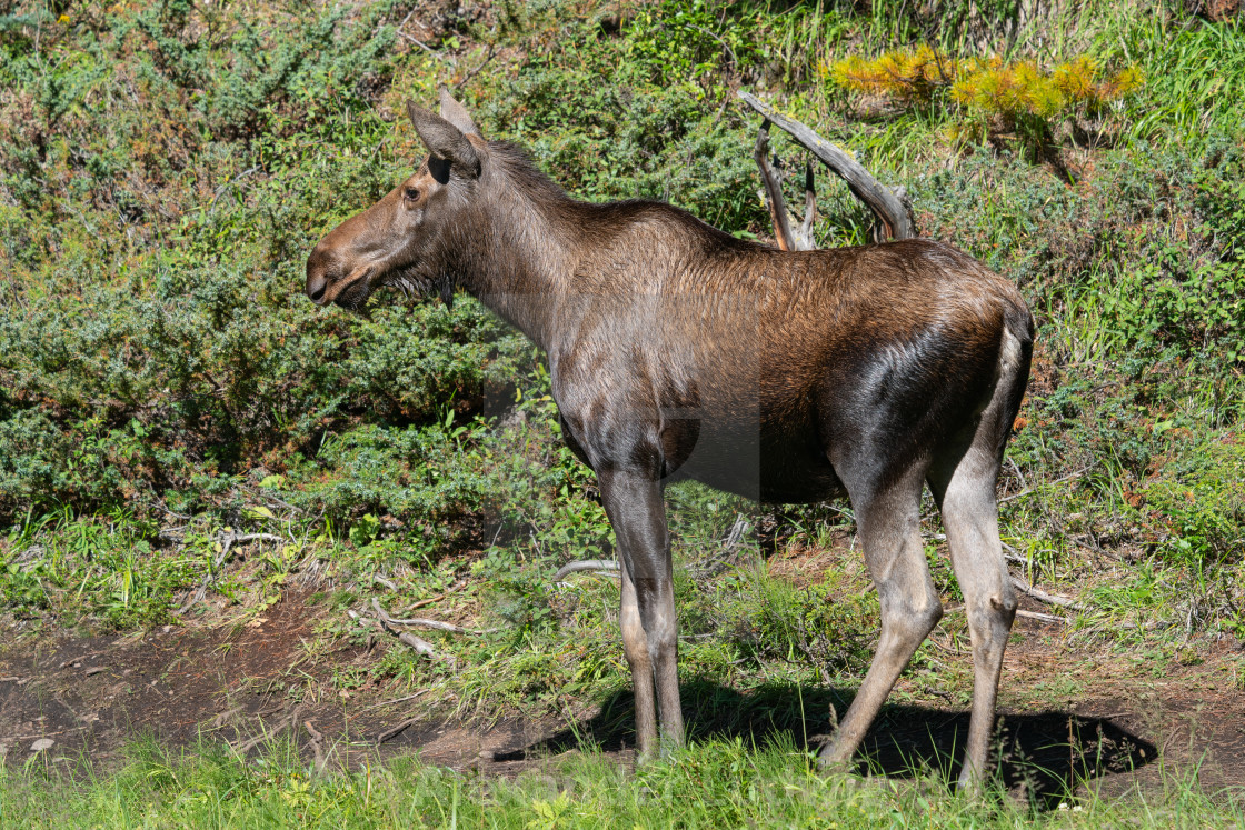 """Moose, Alces alces"" stock image"