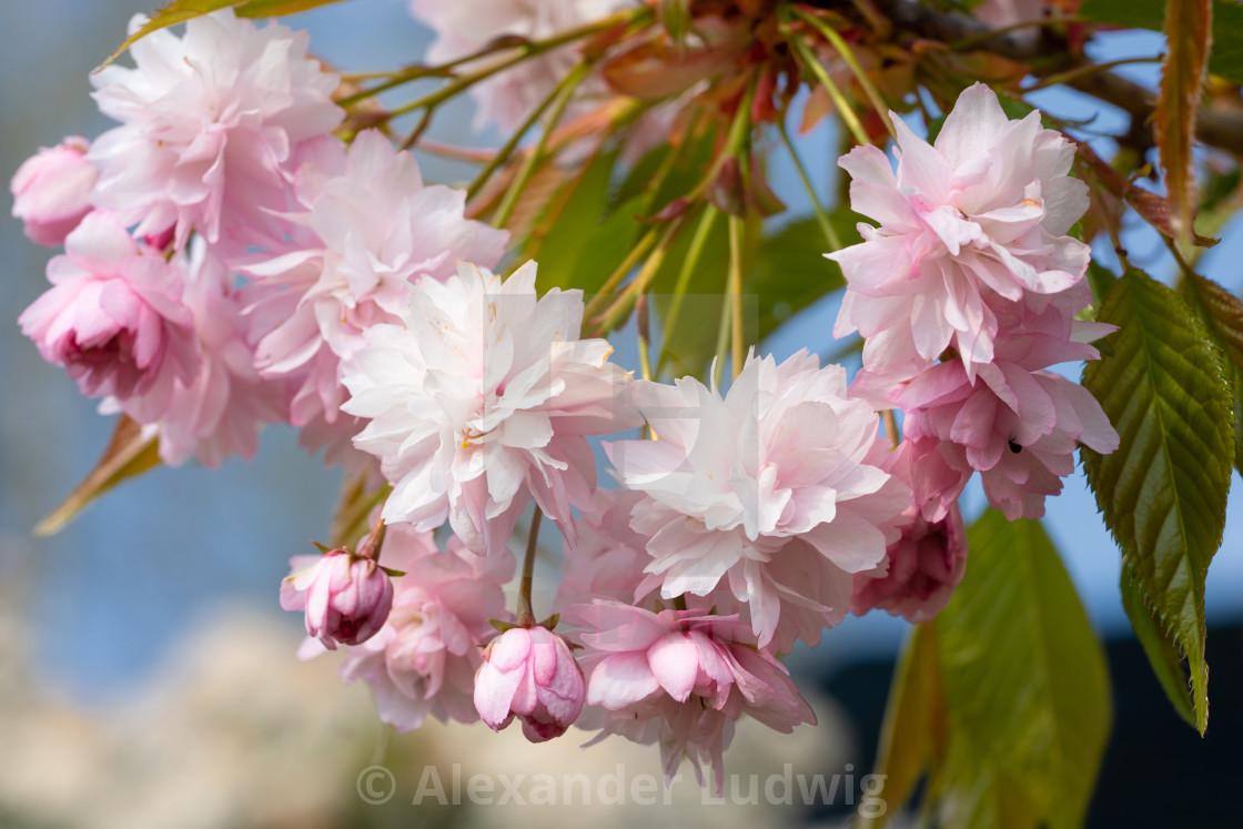 """Hill Cherry 'Kiku-Shidare-Sakura', Prunus serrulata"" stock image"
