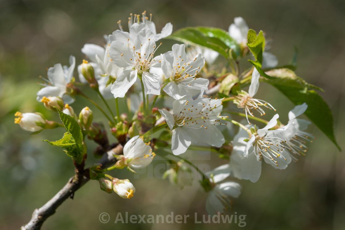 """""""Sweet cherry, Prunus avium"""" stock image"""
