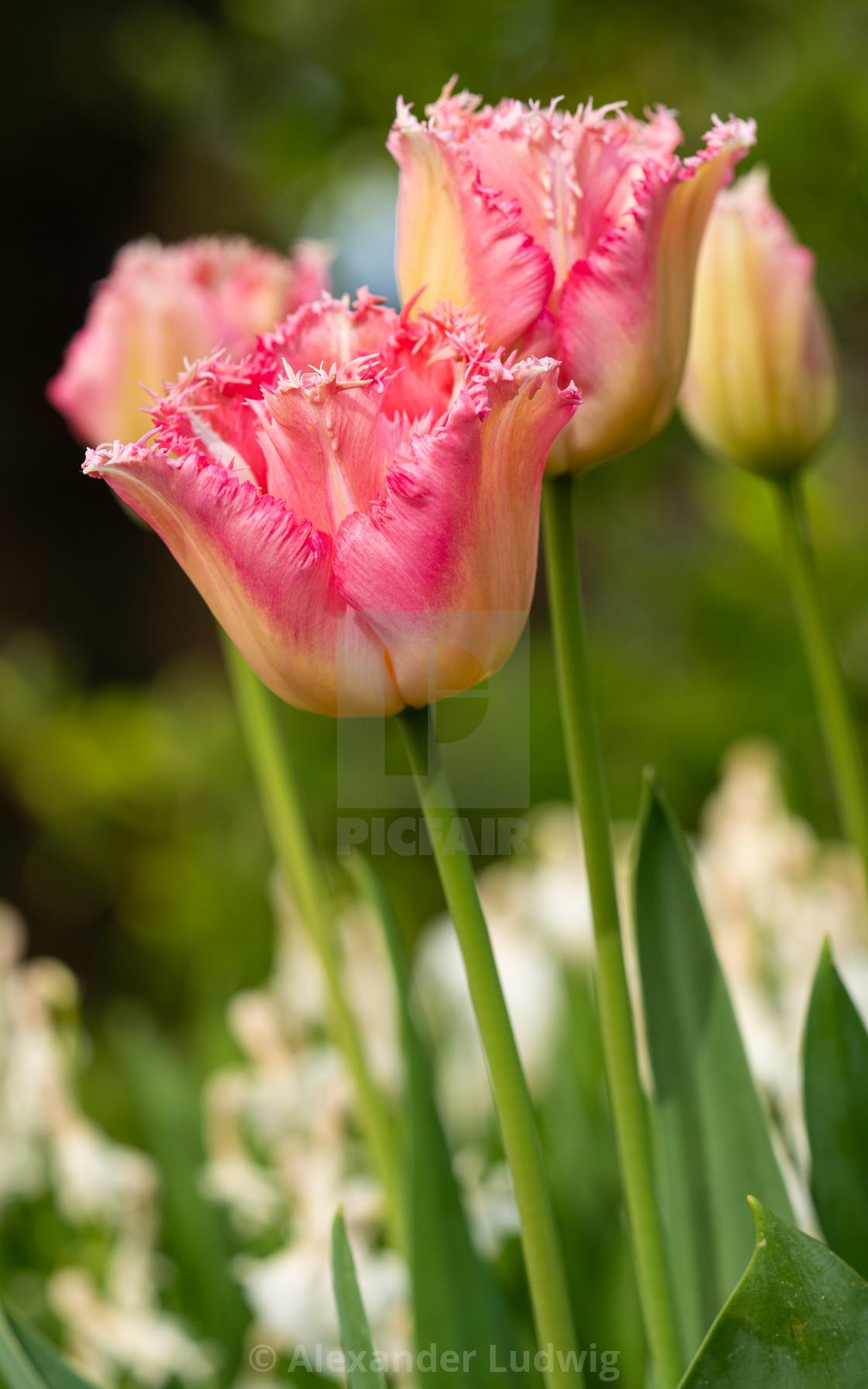 """Tulip, Tulipa"" stock image"