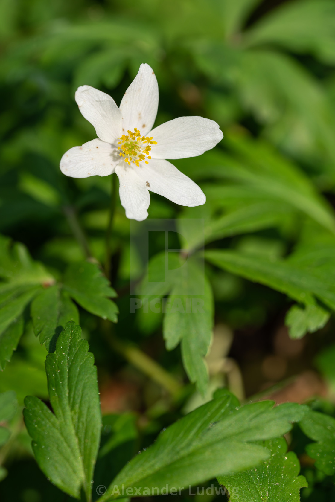 """Windflower, Anemone nemorosa"" stock image"