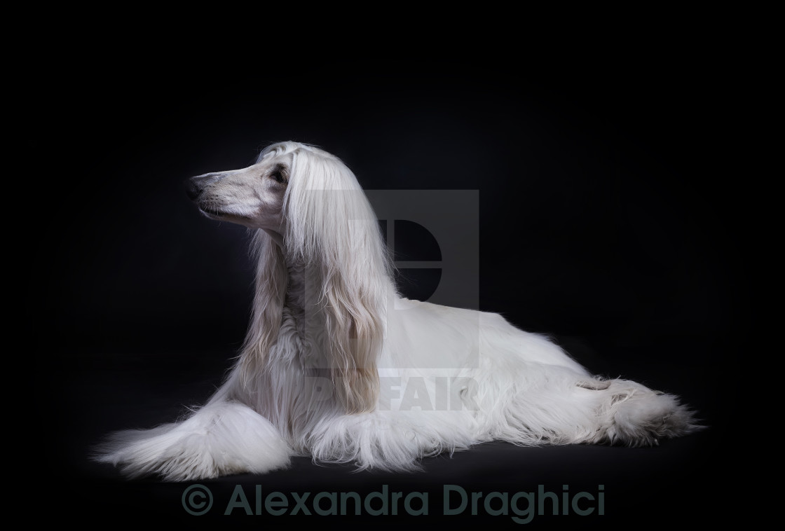 """Afghan hound dog"" stock image"
