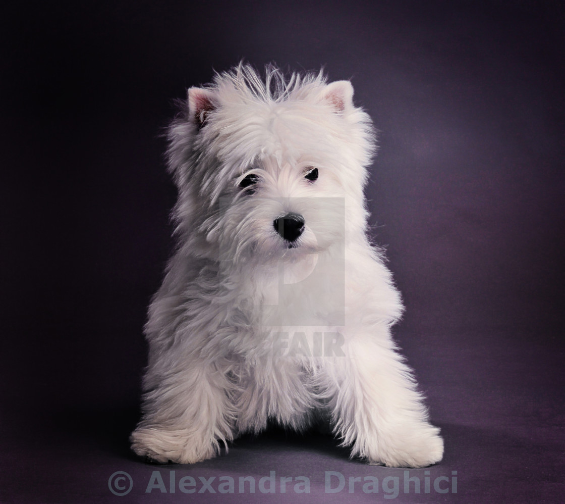 """West highland terrier puppy"" stock image"