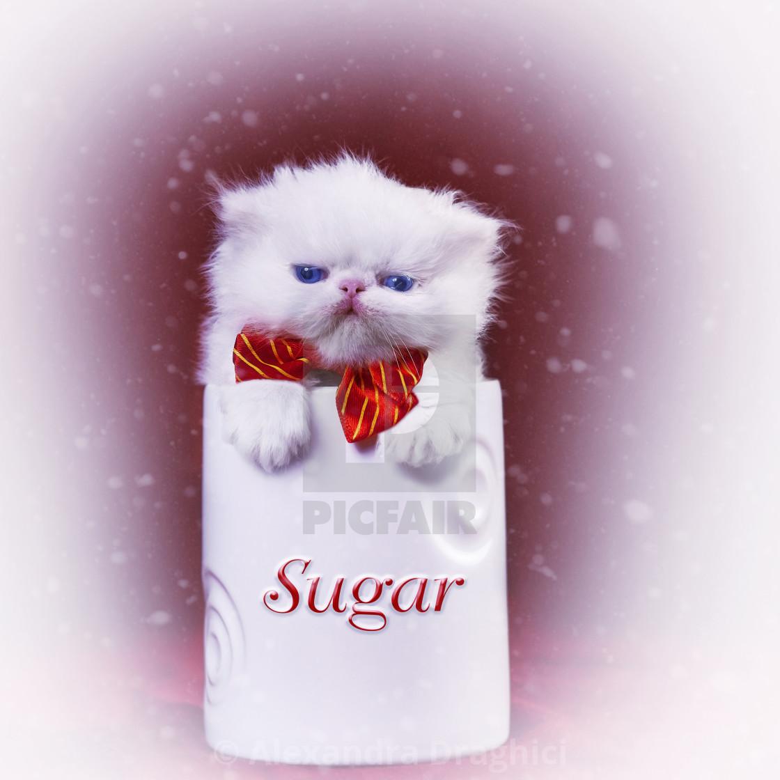 """""""white sugar kitten"""" stock image"""