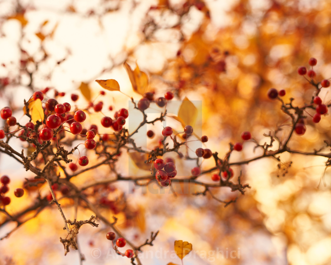 """Winterberry fall landscape"" stock image"