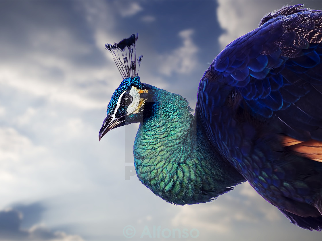 """Proud Peacock"" stock image"
