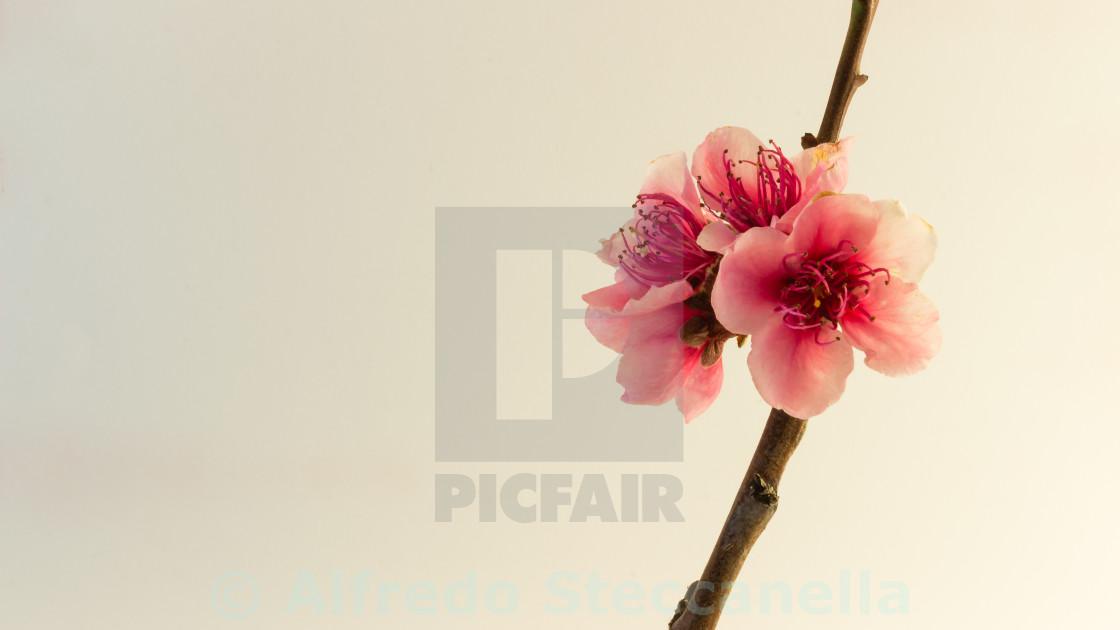 """Peach blossom on white"" stock image"
