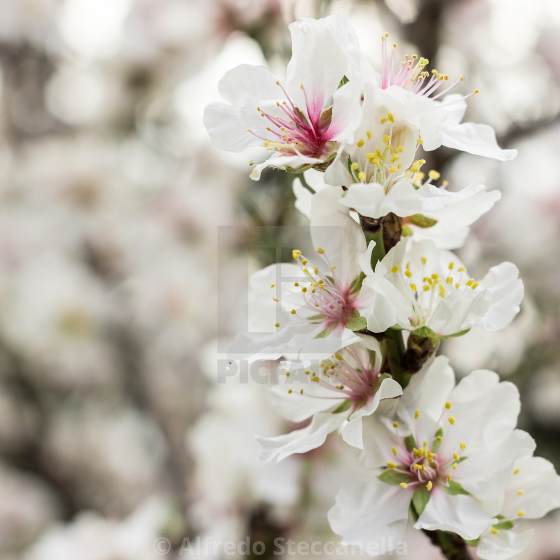 """""""The almond blossom"""" stock image"""