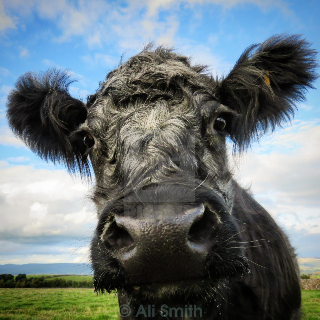 """Blue-Grey Cow"" stock image"