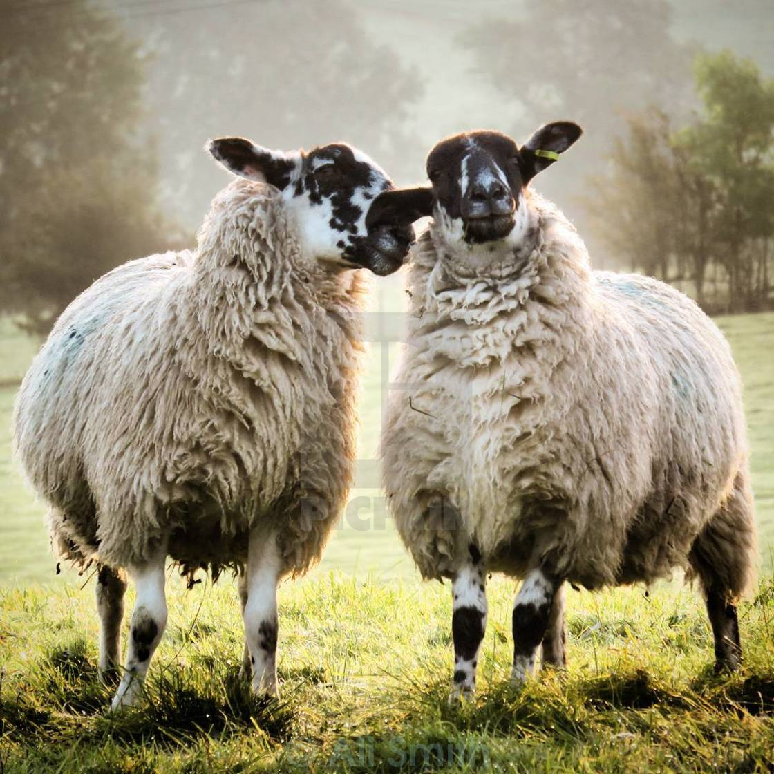 """Ewe Want to Hear a Secret?"" stock image"