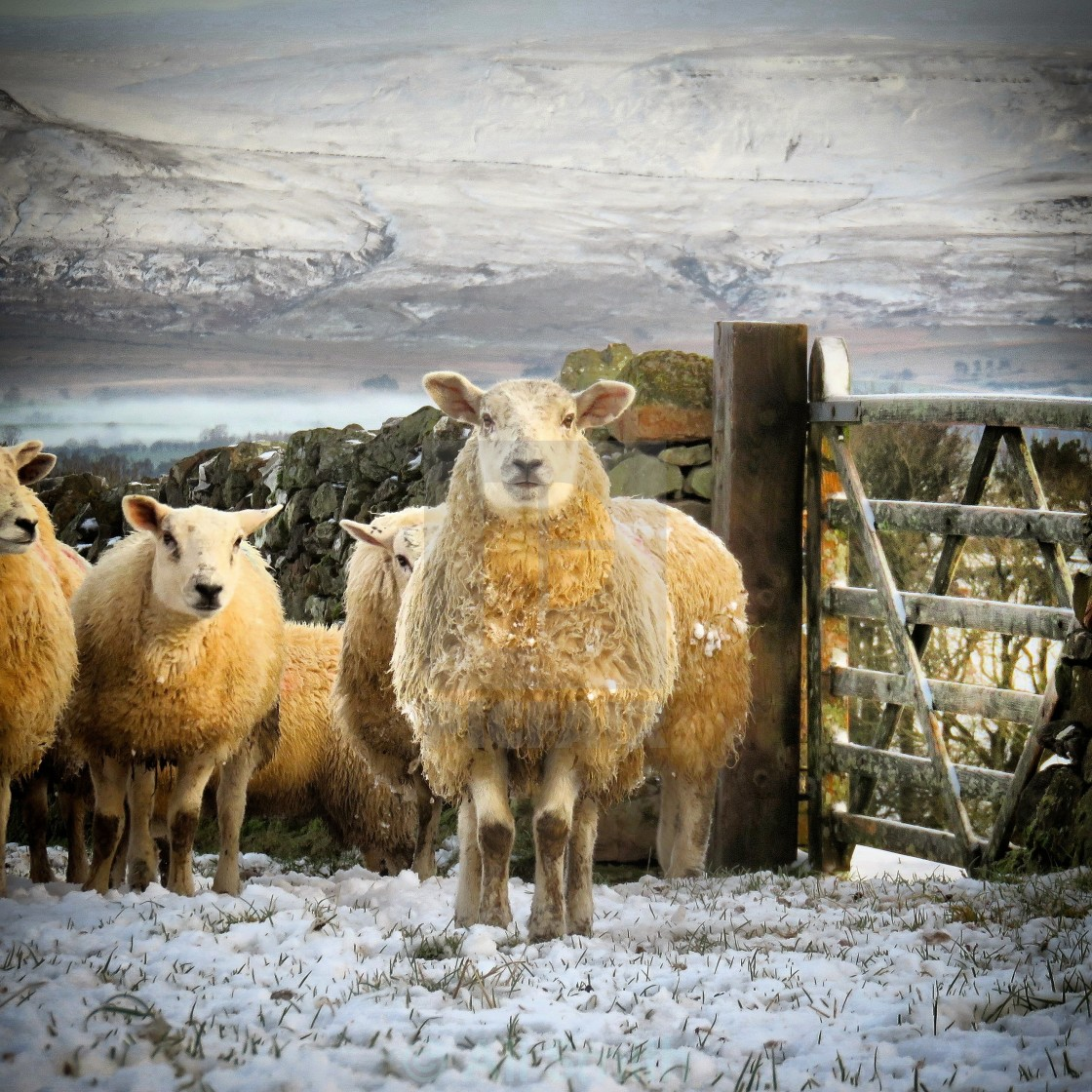 """Snowy Sheep"" stock image"