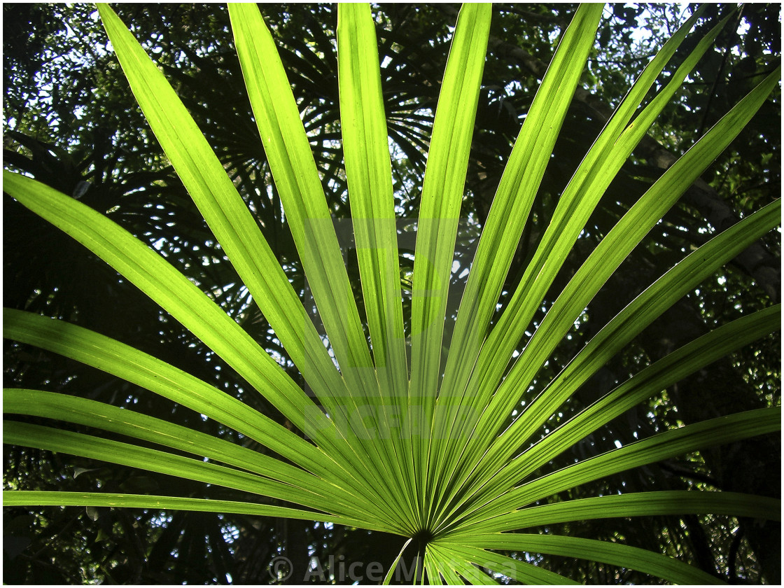 Palm leaf, Belize, Central America