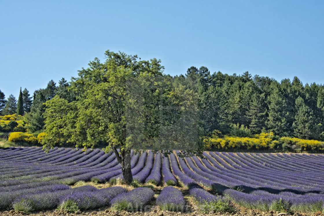 """""""Lavender fields in Provence, France"""" stock image"""