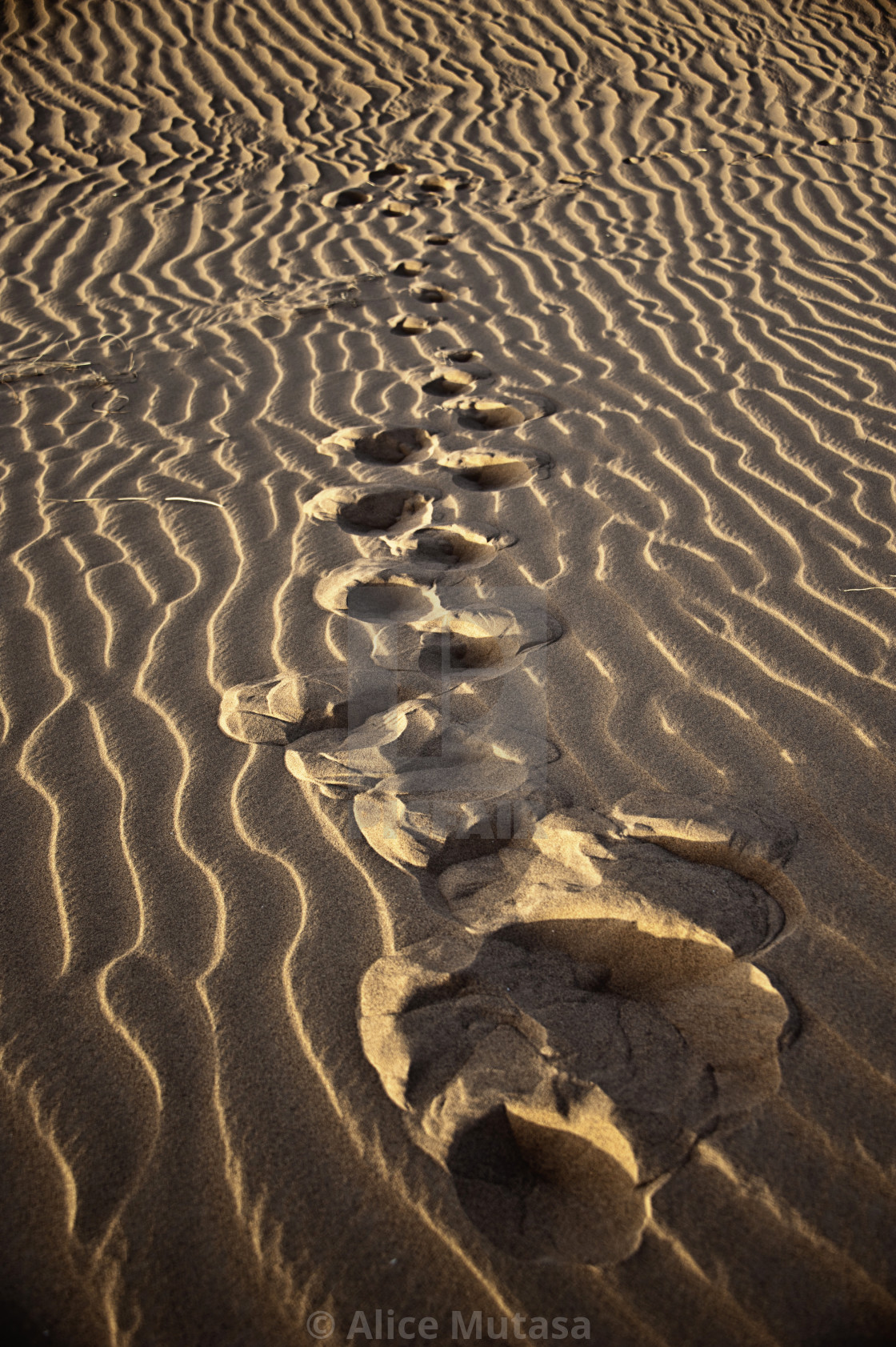"""Footprints in the sand 01 - Sahara Desert"" stock image"
