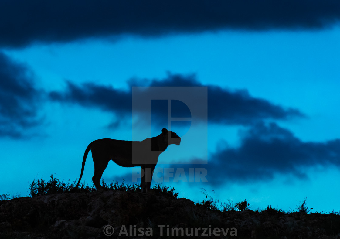 """""""Lioness silhouette against the blue sky"""" stock image"""